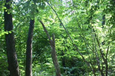 Przez stulecia były drzewa, <br> czyli o Puszczy Białowieskiej słów kilka&#8230;