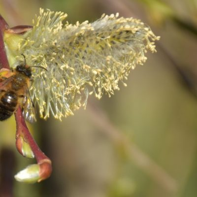 Międzynarodowy Dzień Pszczół
